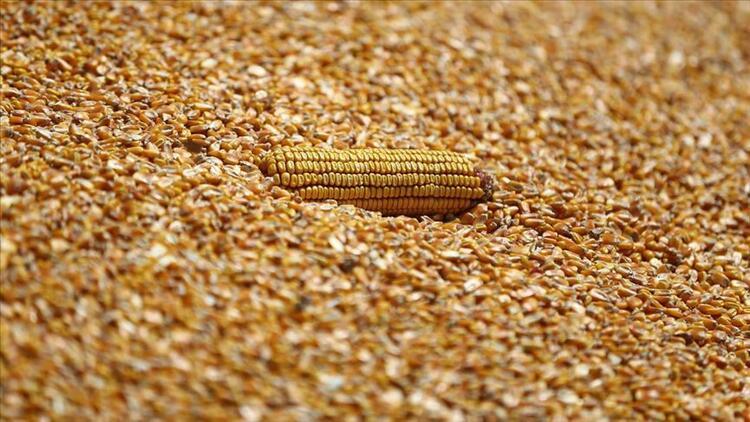TMO'nun mısır alım şartları belirlendi