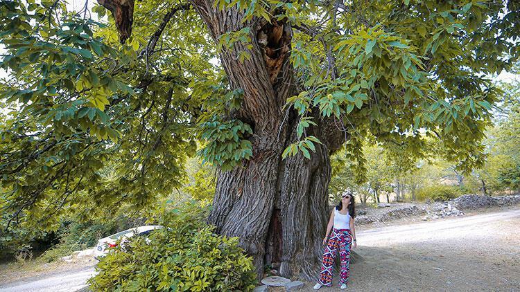 Antalya'da asırlık kestane ağacı ziyaretçilerin ilgisini çekiyor