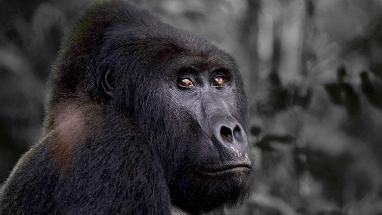 Goril öldürdü Mahkeme cezasını açıkladı