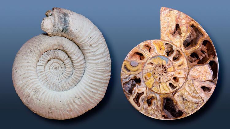 Ammonit Taşı Nedir, Nerelerde Ve Nasıl Bulunur? Ammonit Taşı Nasıl Anlaşılır? Özellikleri Ve Faydaları