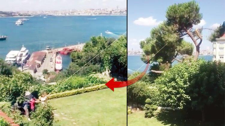 Boğaz'daki tarihi fıstıkçamını kestiler! Bahane: 'Ağaç çürük, çocuklar altında oynuyordu'