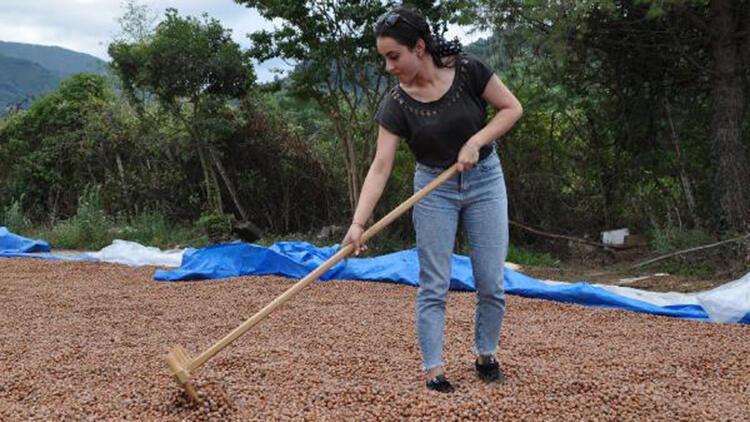 Hasadı süren fındıkta 'aflatoksin' uyarısı