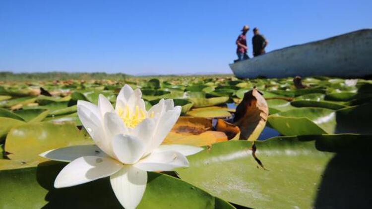 Beyşehir Gölü'nde yetişen nilüferler görsel şölen oluşturuyor