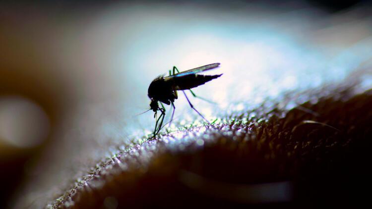 Genetiği değiştirilmiş 750 milyon sivrisinek doğaya salınacak
