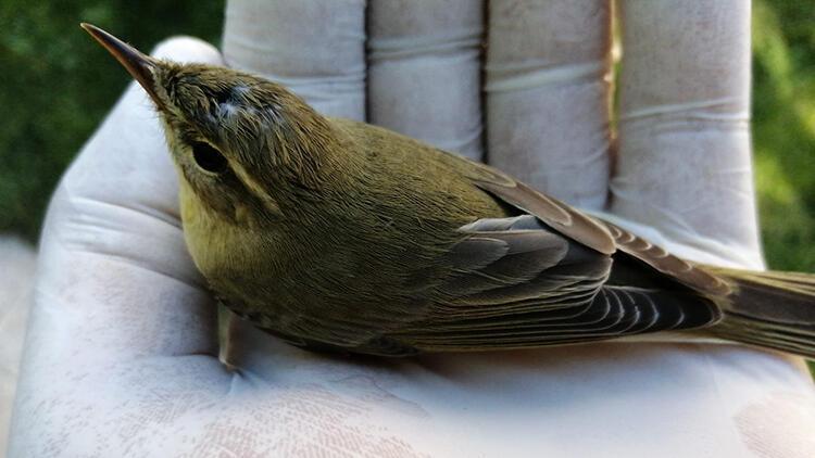 Bayılan sinek kuşunu kendine getirerek yeniden doğaya bıraktı