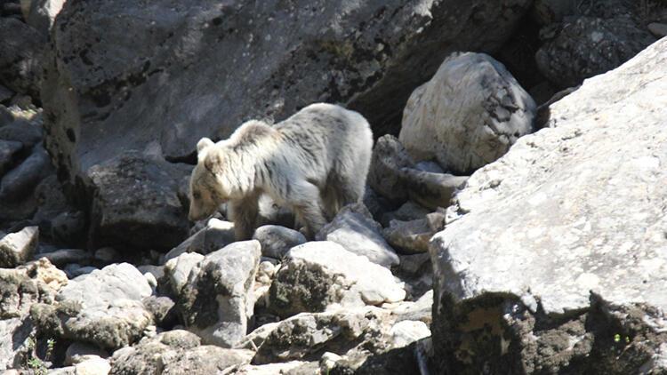 Yavru ayılar, Pülümür Çayında beslenirken görüntülendi