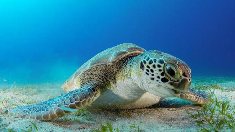 Dalgıçların ilgi odağı kaplumbağa; 'Hürrem'