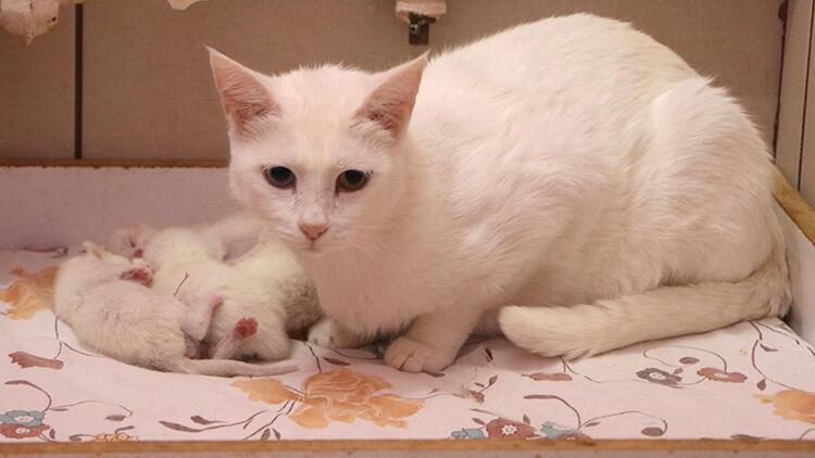 Van kedileri, 2020'nin son yavrularını dünyaya getirdi