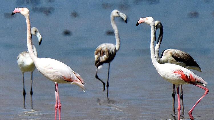Göçe hazırlanan flamingolar, görsel şölen sunuyor