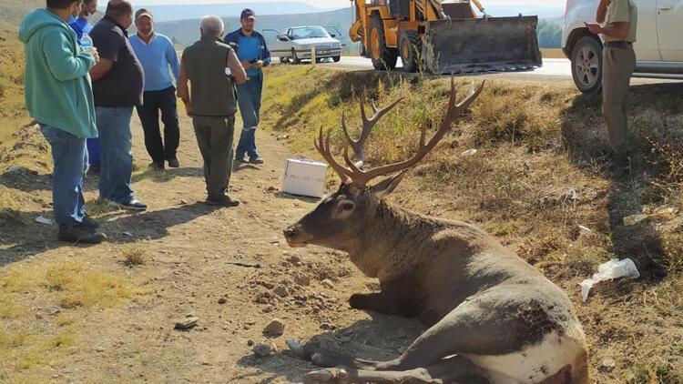 Otomobil çarpan yaralı geyik kamyonetle taşındı