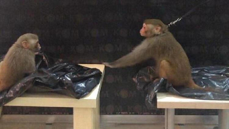 'Rhesus' cinsi 2 maymunun ele geçtiği operasyonda 3 kişi tutuklandı
