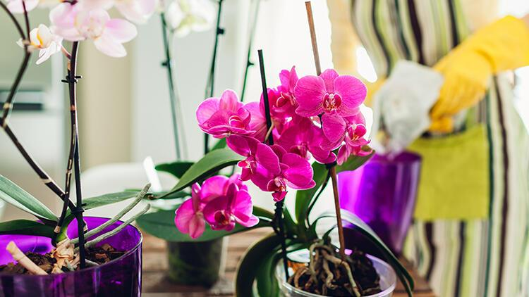 Orkide bakımının incelikleri