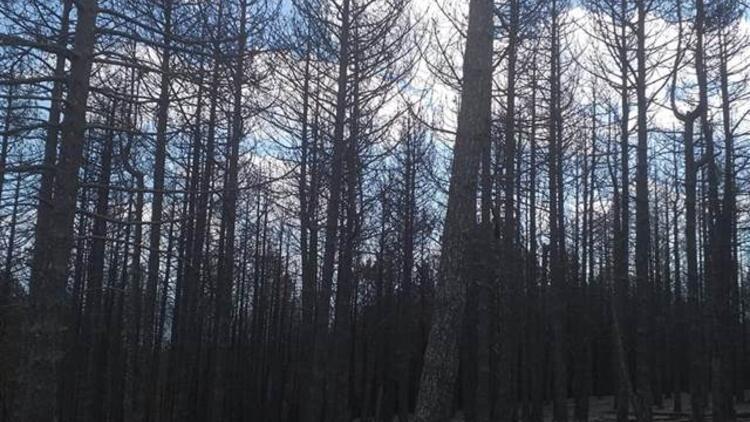 Bergamada başlamış İvrindiye sıçramıştı 100 hektar orman kül oldu