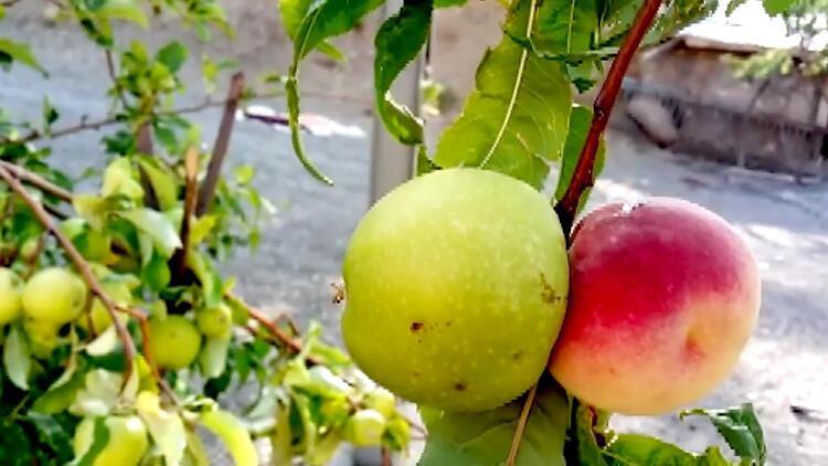 Aynı ağaçta iki farklı meyve... Bilim insanları bu meyve karşısında şaşkın