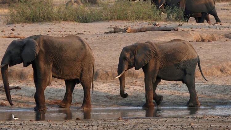 Güney Afrika'daki gizemli fil ölümlerinin nedeni ortaya çıktı
