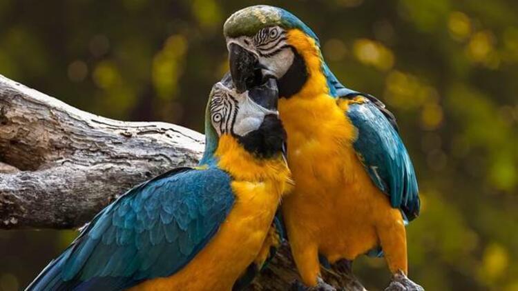 Karantinadaki papağanlar birbirlerine küfür öğretti!