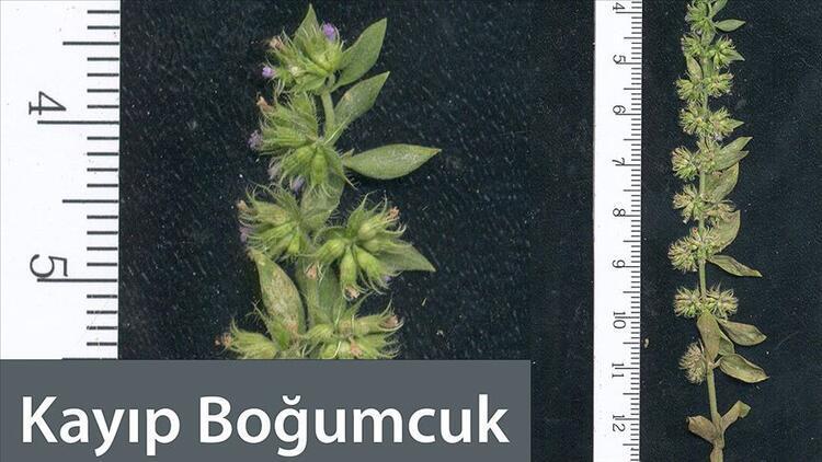 'Kayıp Boğumcuk' Micromeria (Boğumlu Çay) bitkisi nedir?