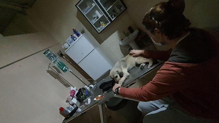 Çanakkale'de büyük vicdansızlık... Çok sayıda köpek zehirlenerek öldürüldü