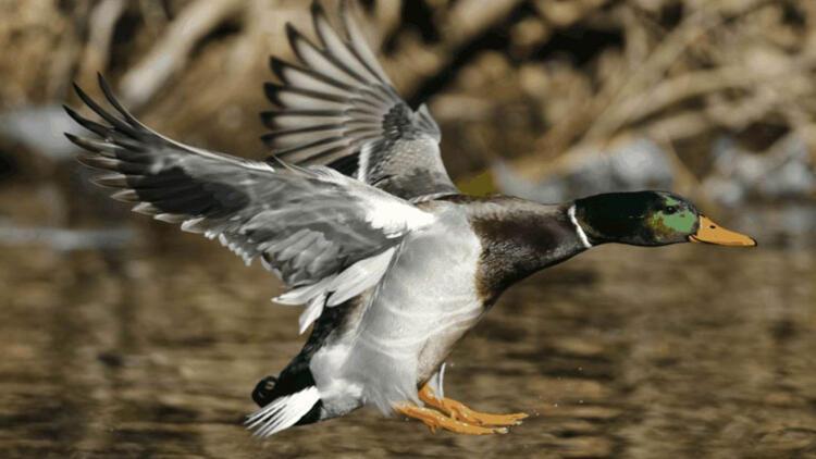 Hollanda'da 'kuş gribi' paniği
