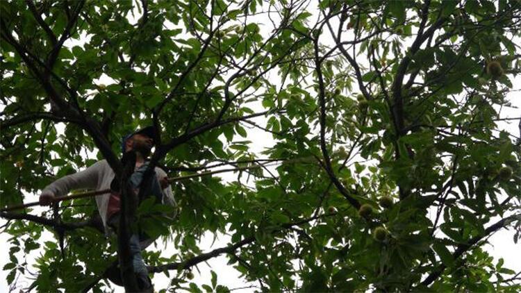 20 metrelik ağaçlara tırmanıyor, günlüğü 400 lira