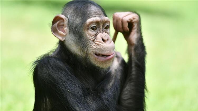 Şempanzeler yaşlandıkça anlamlı dostluk kurmayı önemsiyor
