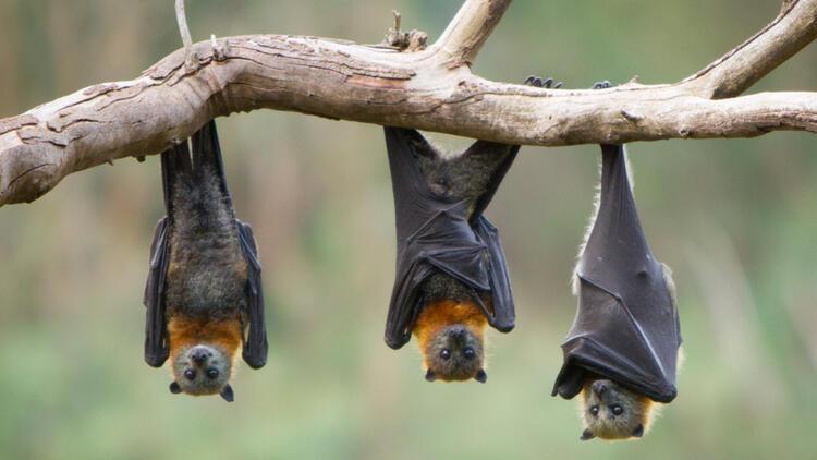 Vampir yarasalar hasta olduklarında sosyal mesafeyi koruyor