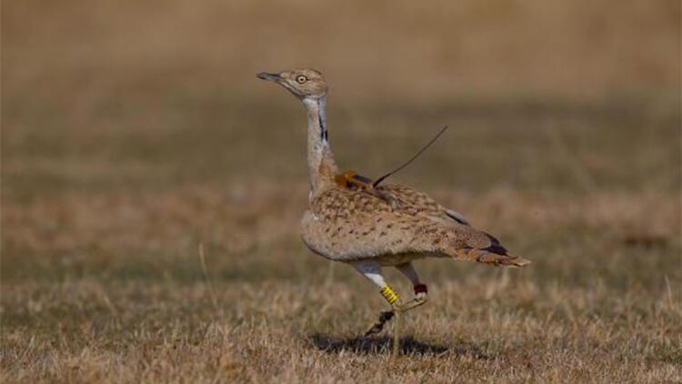 Türkiye'de 7 yıl sonra görülen yakalı toy kuşu doğaya salındı