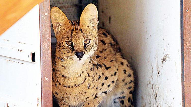 Nesli tükenmekte olan Serval kedisi malikanede bulundu