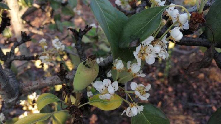 Kasım ayında armut ağaçları çiçek açıp, meyve verdi