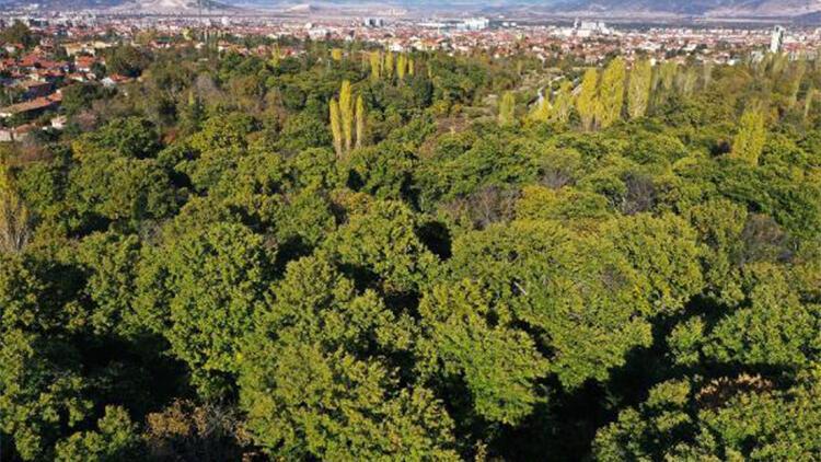 Ispartada asırlık ağaçlarda kestane yetişiyor