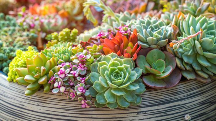 En sevilen bitkilerden biri! Sukulent bakımı nasıl olur? İşte tüyolar...