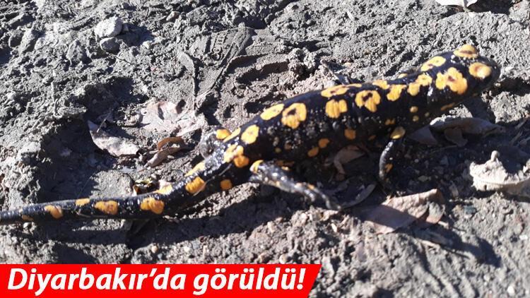 Diyarbakır'da nesli tükenme tehlikesi altında olan 'Türk semenderi' görüldü