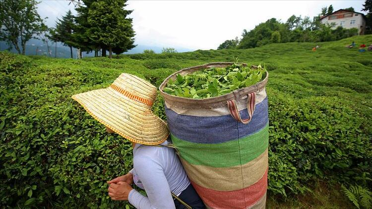 Çay ihracatının yüzde 50'si Rize'den