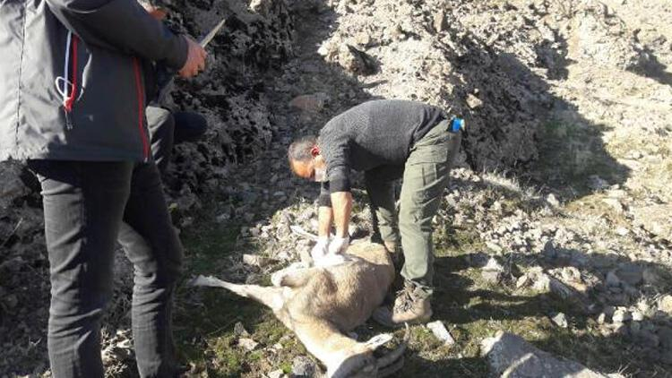 Tunceli'de bulundular! 8 yaban keçisi telef olmuş halde bulundu