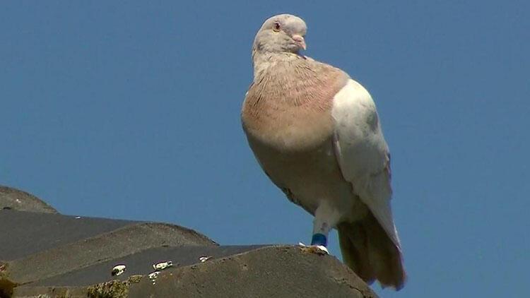 Pasifik Okyanusu'ndan geçip 13 bin kilometre uçarak Avustralya'ya gelen güvercin itlaf edilecek
