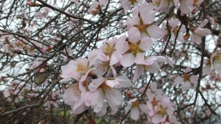 Burhaniye'de erken çiçek açan meyve ağaçları için don tehlikesi