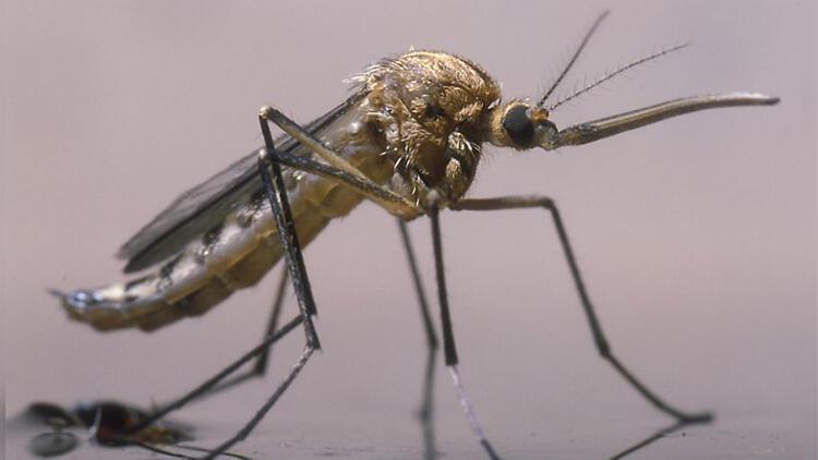 DSÖ uyarmıştı: Yeni sıtma sineği türü panik yarattı!