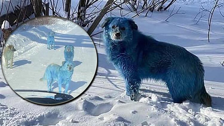 Rusya'da inanılmaz olay! Köpeklerin rengi maviye dönüştü