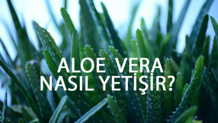 Aloe Vera Nasıl Yetişir? Aloe Vera Türkiye'de En Çok Ve En İyi Nerede Yetişir Ve Nasıl Yetiştirilir?