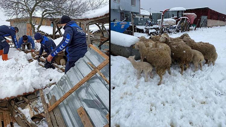 Kar nedeniyle damı çöken ahırda göçük altında kalan koyunları zabıta kurtardı