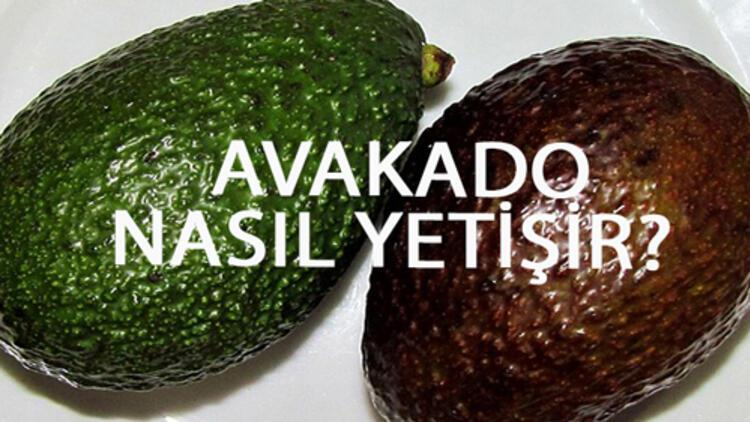 Avakado Nasıl Yetişir? Avakado Türkiye'de En Çok Ve En İyi Nerede Yetişir Ve Nasıl Yetiştirilir?