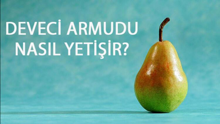 Deveci Armudu Nasıl Yetişir? Deveci Armudu Türkiye'de En Çok Ve En İyi Nerede Yetişir Ve Nasıl Yetiştirilir?