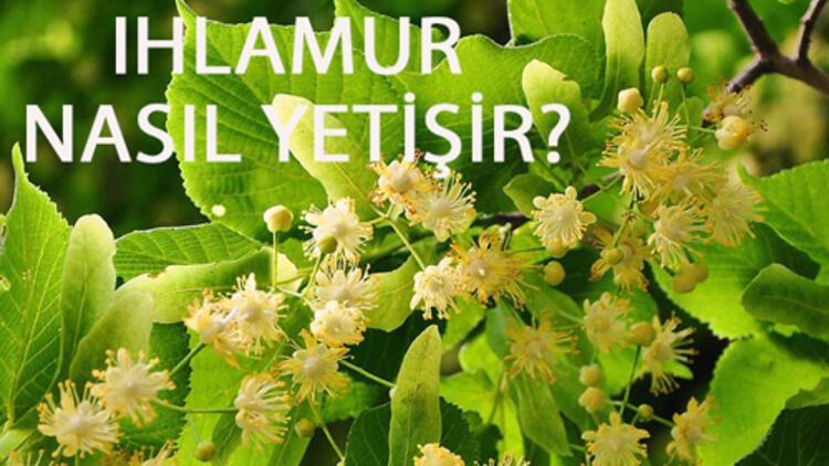 Ihlamur Nasıl Yetişir? Ihlamur Türkiye'de En Çok Ve En İyi Nerede Yetişir Ve Nasıl Yetiştirilir?