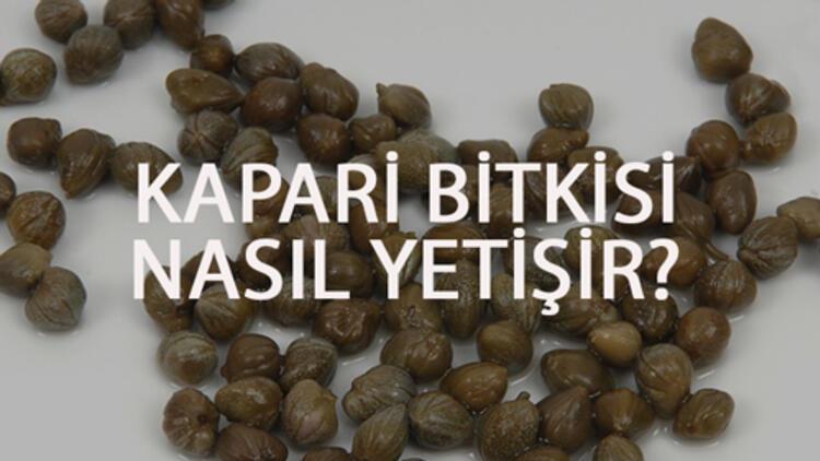 Kapari Bitkisi Nasıl Yetişir? Kapari Bitkisi Türkiye'de En Çok Ve En İyi Nerede Yetişir Ve Nasıl Yetiştirilir?