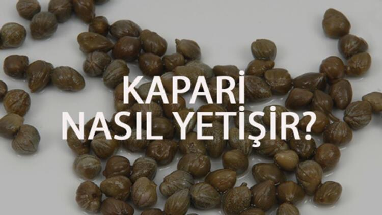 Kapari Nasıl Yetişir? Kapari Türkiye'de En Çok Ve En İyi Nerede Yetişir Ve Nasıl Yetiştirilir?
