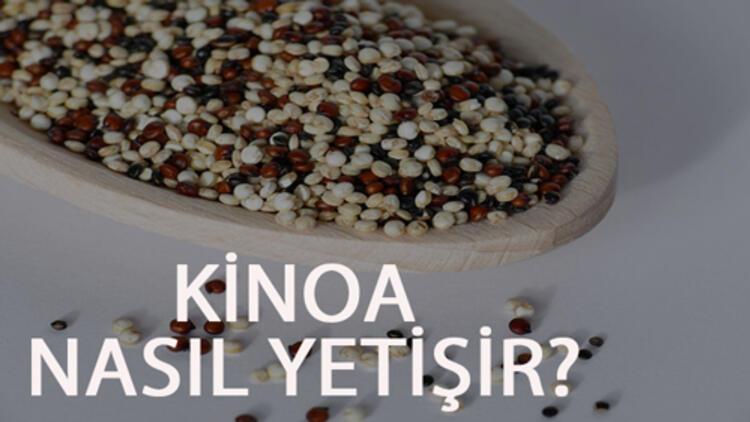 Kinoa Nasıl Yetişir? Kinoa Türkiye'de En Çok Ve En İyi Nerede Yetişir Ve Nasıl Yetiştirilir?