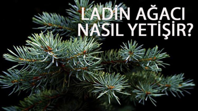 Ladin Ağacı Nasıl Yetişir? Ladin Ağacı Türkiye'de En Çok Ve En İyi Nerede Yetişir Ve Nasıl Yetiştirilir?