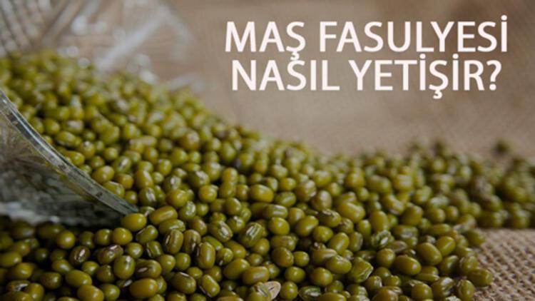 Maş Fasulyesi Nasıl Yetişir? Maş Fasulyesi Türkiye'de En Çok Ve En İyi Nerede Yetişir Ve Nasıl Yetiştirilir?