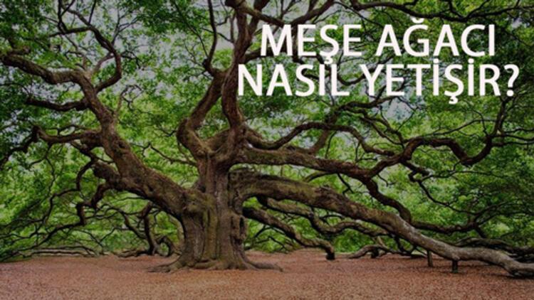 Meşe Ağacı Nasıl Yetişir? Meşe Ağacı Türkiye'de En Çok Ve En İyi Nerede Yetişir Ve Nasıl Yetiştirilir?