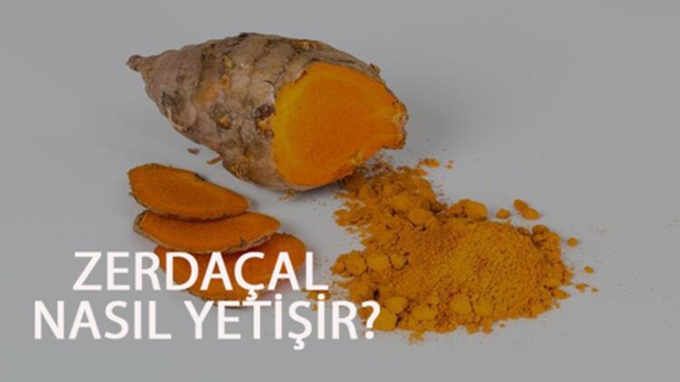 Zerdeçal Nasıl Yetişir? Zerdeçal Türkiye'de En Çok Ve En İyi Nerede Yetişir Ve Nasıl Yetiştirilir?